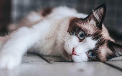 Atemnot bei Katzen