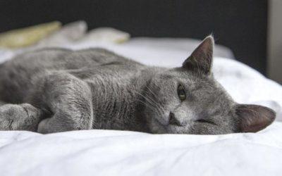 Felines Asthma – Asthma bei Katzen