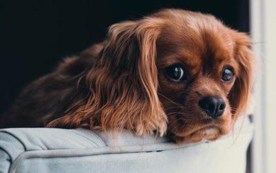 Husten bei Hunden – Behandlung