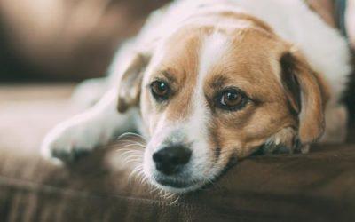 Husten beim Hund – Diagnose