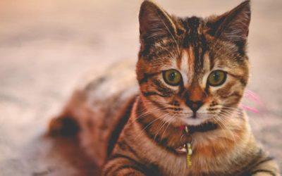 Die Ursachen von Katzenasthma
